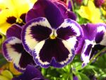 pansy! by BethTheWriter