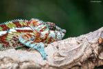 Furcifer pardalis - The Eye by Charles-Hopfner