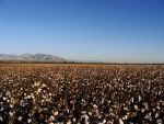 Fields of Cotton by Kredence101