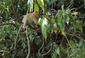 Bonnet Macaque Monkey 4 by RixResources