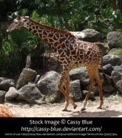 giraffe stock 4 by Cassy-Blue