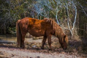 Wild Horse of Assateague Nat. Park by K1ntar