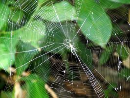 Spider Web 2 by WisteriasWeb