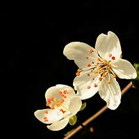 Blossom by JaymeeLS