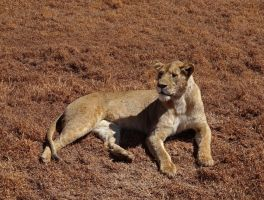 Lioness Lounging by Track-Maidens