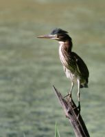 Young Green Heron by barcon53