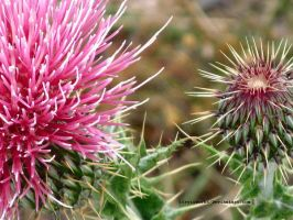 A Thistle. by itryitworks