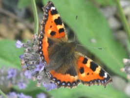 Small Tortoise Shell Butterfly on Lavender by AWKYWOLF99