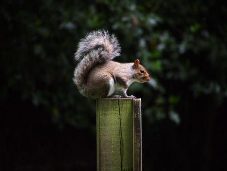 Squirrel on a post by Brianetta