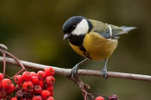 Great tit by JMrocek