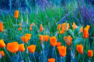 Golden Poppies by shadowryuu13