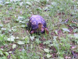 Found this little turtle in our yard. by tigernose123