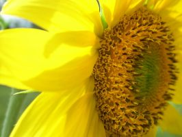 Sunflower - 20130523 - 00005 by TomFawls