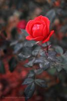autumn rose by wroquephotography