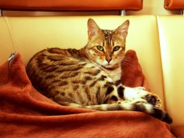 My bengal cat by snowwhitemarch