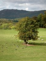 windermere geese by harrietbaxter