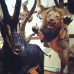 Taxidermy Lion and Gazelle by lenatheloser