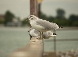 Young RingBilled Gull Sept - 2014 - 11 - 1 by toshema