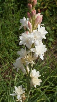 Pearl Polianthes Tuberosa by Chaoslynx1989