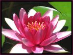 Pink Lilly by thegratefulred