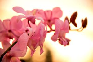 Pink Orchid 4 by pu3w1tch