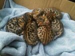 My best friends parents ocelot kits by Crookedcloud
