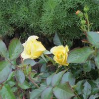 Modern shrub rose 'Yellow Submarine' by Kattvinge