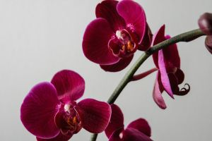 Orchids by KalixHavok