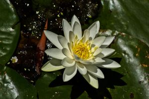 Waterlily by Ariel1707