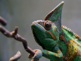 Veiled Chameleon by KMourzenko