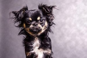 Ozzy the Chihuahua by JKiesewetterPhotos