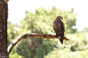 Buteo jamaicensis 4 by eagle79