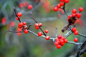 Red Berries in Fall by Crixans