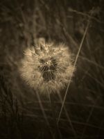 FRAGILE LIFE ( SEPIA ) by ANDYBURGESS