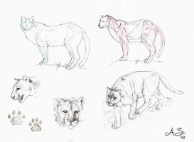 Cougar study by AndreaSchepisi