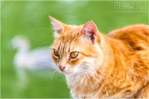 Orange Cat III by MichaelNN