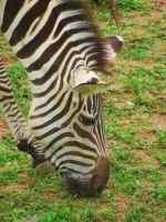 The Zoo: Zebra 3 by en-visioned