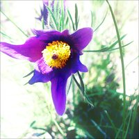 Pasque flower by Whatsername777