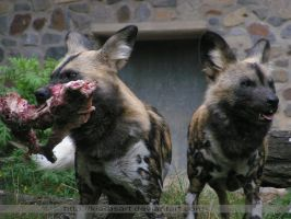 african wild dogs lunch by KIARAsART