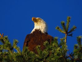 The Thinking Eagle by wolfwings1