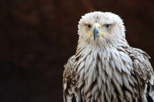 Birds of Prey - Portrait IV by DavaDs
