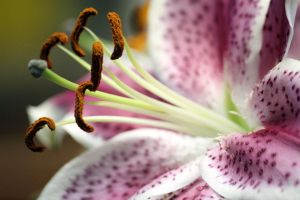 Lily close up by CASPER1830
