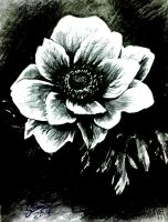 Anemone (I think thats what it is called xD) by Swicca