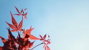 Japanese Maple HD Wallpaper by 55Laney69
