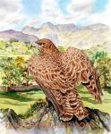 Buzzard In The Langdale Valley by moggies