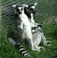 The Lemur Brothers again X-D by x-cyber-centauri-x