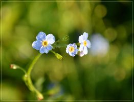 Forget-me-not 2 by Ragini123