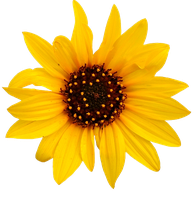 Sunflower PNG #1 by DarkSideofGraphic