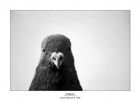 Pigeon... by Fuadass