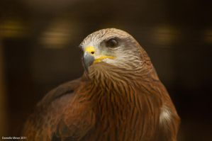 BLACK KITE by DanielleMiner